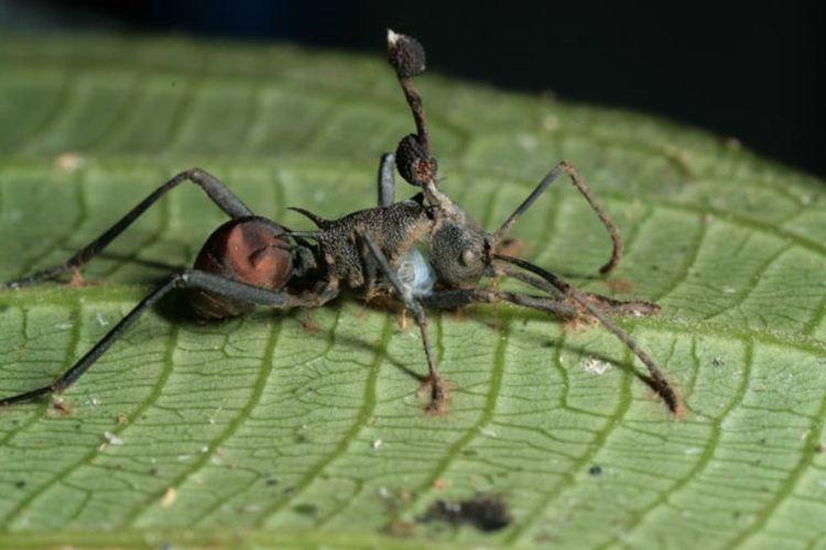 Polyrhachis armata, dari Thailand menggigit daun setelah terinfeksi oleh jamur Ophiocordyceps unilateralis. Batang besar dan dua badan penghasil spora terlihat.