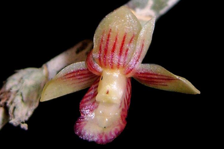 Spesies baru tumbuhan unik, spesies baru anggrek dendrobium. Dendrobium rubrostriatum oleh Destario Metusala.