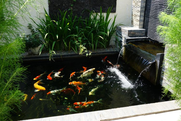 Ilustrasi kolam ikan di rumah.