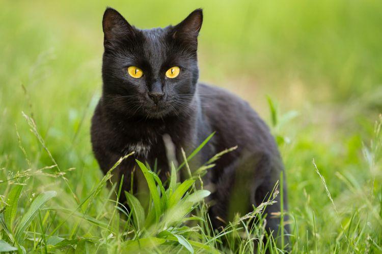 Ilustrasi kucing Bombay, ras kucing Bombay.