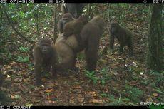 Gorila Langka di Dunia Tertangkap Kamera, Gendong Anak di Punggungnya