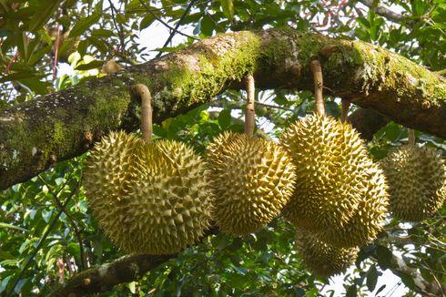 Waktu, Musuh Penjual dan Pencinta Durian