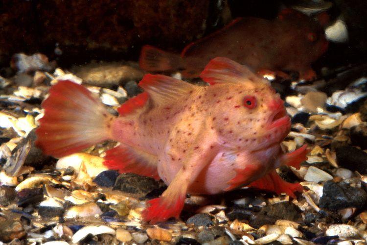 Ikan red handfish, Sympterichthys politus, sepupu dari jenis ikan smooth handfish (Sympterichthys unipennis) yang dinyatakan telah punah.