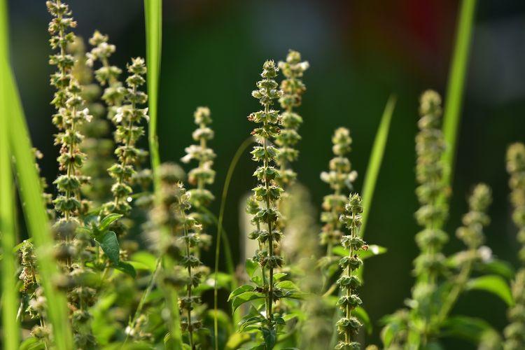 Ilustrasi tanaman selasih, tepatnya bagian bijinya yang jika dipanen bisa jadi biji selasih untuk campuran minuman