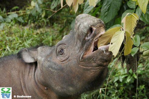 Pengurutan Genom Tunjukkan Harapan Penyelamatan Populasi Badak Sumatera