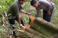 Pohon Durian Hutan Berusia 70 Tahun Ditebang Pembalak Liar