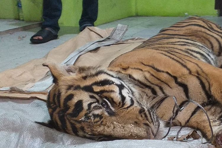 Harimau sumatera yang mati akibat terjerat di areal PT AA di Desa Minas Barat, Kecamatan Minas, Kabupaten Siak, Riau, dibawa ke BBKSDA Riau untuk dilakukan neukropsi, Senin (18/5/2020).