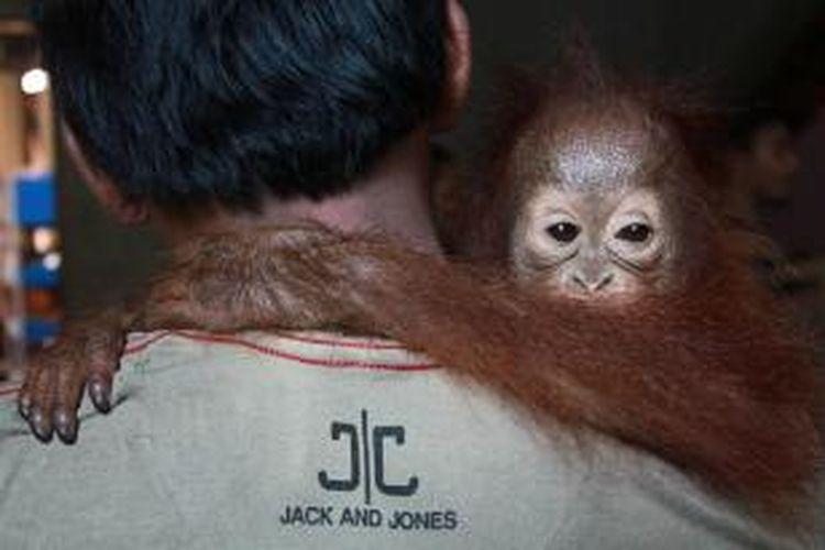 Otan, bayi orangutan yang ditemukan saat sedang minum disebuah kanal buatan di kawasan perkebunan kelapa sawit di Kalimantan Barat.