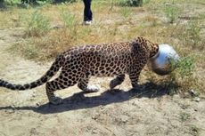 Kehausan, Kepala Macan Tutul Malah Tersangkut di Pot