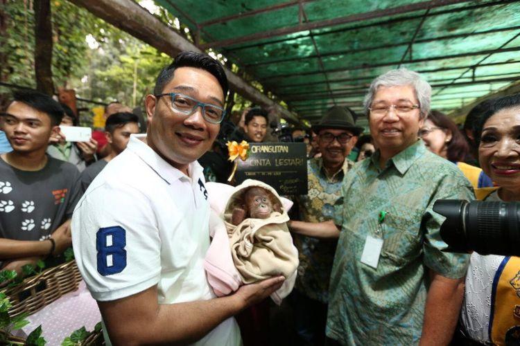 Wali Kota Bandung Ridwan Kamil saar menggendong anak orangutan di Kebun Binatang Bandung, Sabtu (18/11/2017) kemarin. Orangutan itu diberi nama Cinta Lestari.