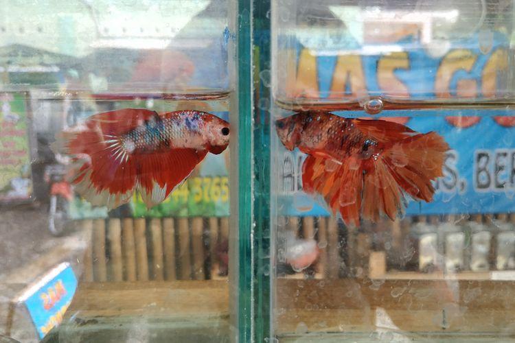 Ikan cupang, jenis ikan hias dengan sifat petarung.
