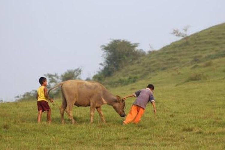 Anak menggembalakan sapi