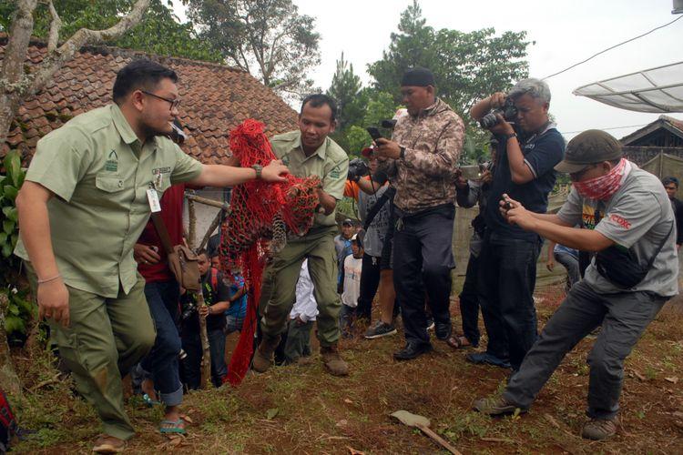 Dua petugas mengevakuasi macan tutul dari rumah warga di Kampung/Desa Perbawati, Sukabumi, Jawa Barat, Kamis (17/5/2018).