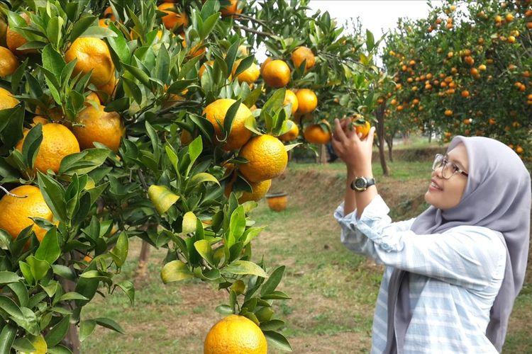 Salah satu pengunjung saat memetik jeruk di Balitjestro Kota Batu, Jumat (19/7/2019).