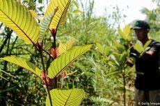 Pohon Kratom yang Efeknya Mirip Ganja Tumbuh Liar di Hutan Nunukan, BNN Awasi Ketat