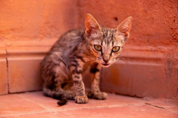 Ilustrasi kucing kekurangan berat badan