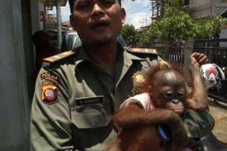 Unyuk, orangutan (Pongo Pygmaeus) berjenis kelamin betina yang dipelihara keluarga Jafrie saat dibawa petugas dari BKSDA Kalbar (20/9/2016)