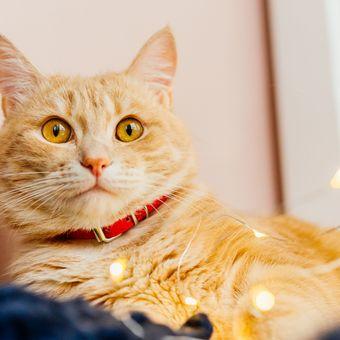 Ilustrasi kucing mengenakan kalung, kalung kucing.