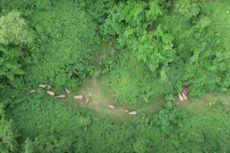 VIDEO: 15 Gajah Liar Rebahan Bareng Setelah Jalan 500 Km di Hutan China