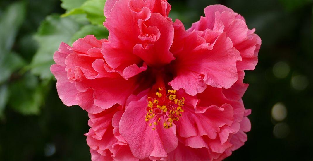 Ilustrasi bunga sepatu, kembang sepatu atau hibiscus.