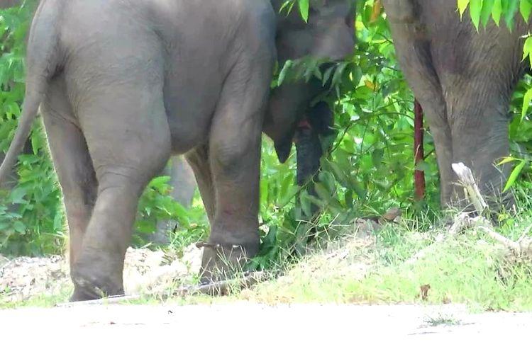 (IlustrasIi) Anak gajah yang terjerat di areal PT Arara Abadi di Kecamatan Talang Muandau, Kabupaten Bengkalis, Riau, dikembalikan ke kelompoknya usai dilakukan pengobatan dan melepas tali jerat, Minggu (26/1/2020).