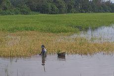 Khawatir Merugi, Petani di Kampar Panen Padi di Tengah Banjir