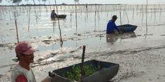 Bukan Hanya untuk Ekologi, Rehabilitasi Mangrove Dapat Tingkatkan Kesejahteraan Masyarakat