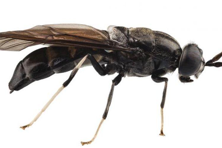 Lalat hitam alias Hermetia illucens yang bisa dipakai untuk pengolahan sampah organik.