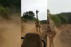 Video Viral Jerapah Marah Mengejar Wisatawan, Para Turis Syok