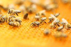 Layaknya Manusia, Lebah juga Bisa Kecanduan Zat Adiktif