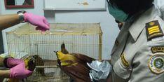 Penyelundupan Burung Cendrawasih Digagalkan di Bandara Kualanamu