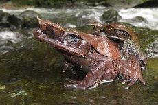 Ditemukan, Spesies Baru Katak Bertanduk dari Hutan Kalimantan