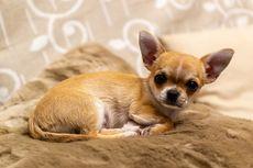 5 Fakta Unik Anjing Chihuahua, Si Kecil yang Lincah dan Berani