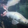 Penjelasan Peneliti Terkait Jenis Ikan Berukuran Raksasa yang Viral di Medsos