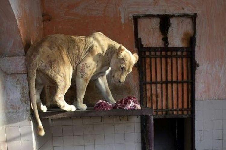 Seekor singa betina menderita penyakit kulit di Kebun Binatang Karachi di Pakistan. (AFP/Rizwan Tabassum)