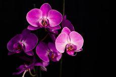 Tips Menyiram Bunga Anggrek agar Cepat Berbunga