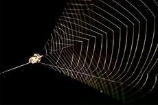 Lebih Cepat dari Cheetah, Laba-laba ini Meluncur Menerkam Mangsanya