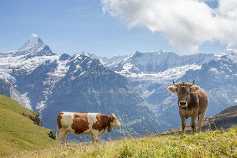 Lewat Referendum, Warga Swiss Tentukan Nasib Tanduk Sapi