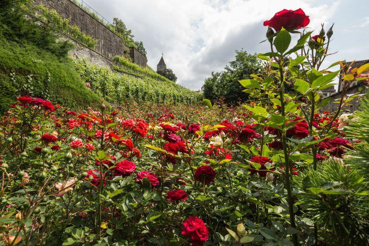 Tempat wisata di Swiss - Kebun bunga mawar di Rapperswil.
