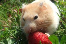 Kenapa Hamster Memakan Anaknya Sendiri Setelah Dilahirkan?