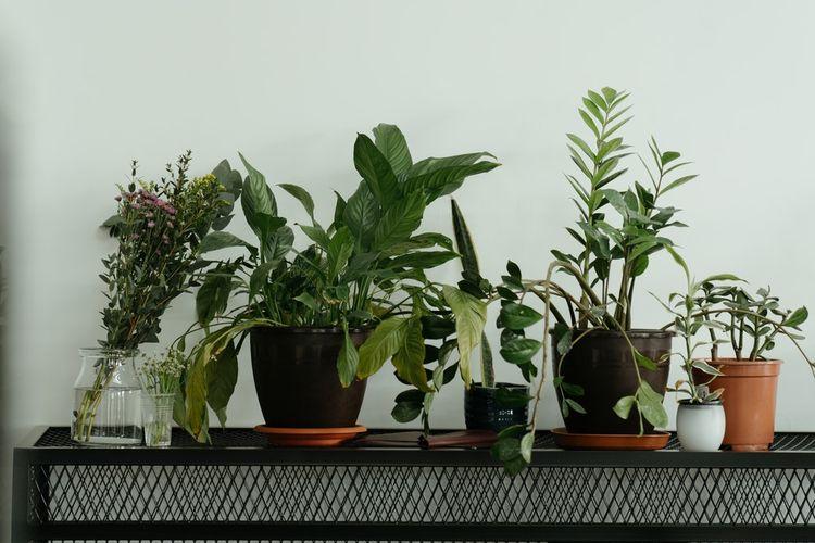 Ilustrasi tanaman hias di dalam pot. Piring yang ditaruh di bawah pot memungkinkan tanaman memperoleh air dari bawah.