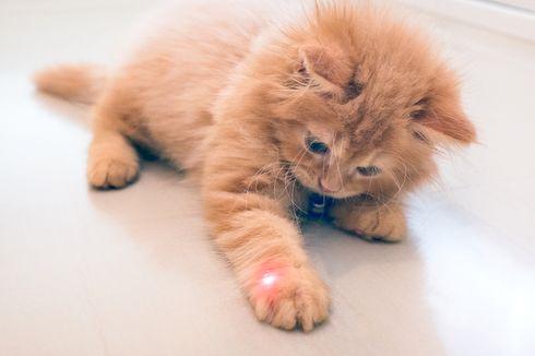 Kenapa Kucing Suka Mengejar Laser? Ternyata Ini Penyebabnya