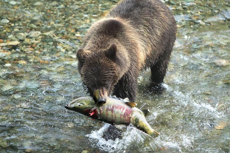 Beruang cokelat Alaska menangkap salmon.