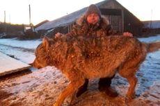 Seorang Petani di Rusia Ini Bunuh Serigala dengan Tangan Kosong