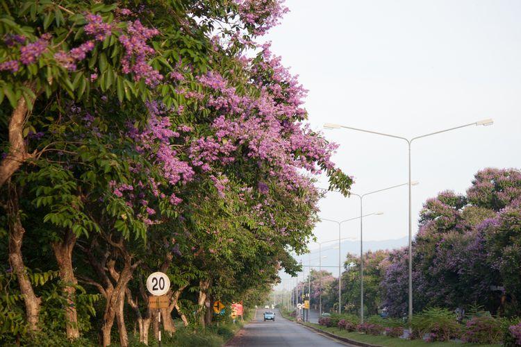 ilustrasi pohon angsana