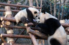Misteri Bayi Panda yang Berukuran Super Kecil
