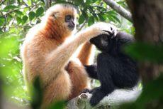 Selamatkan Primata Terlangka di Dunia, Ahli Bikin Jembatan Buatan