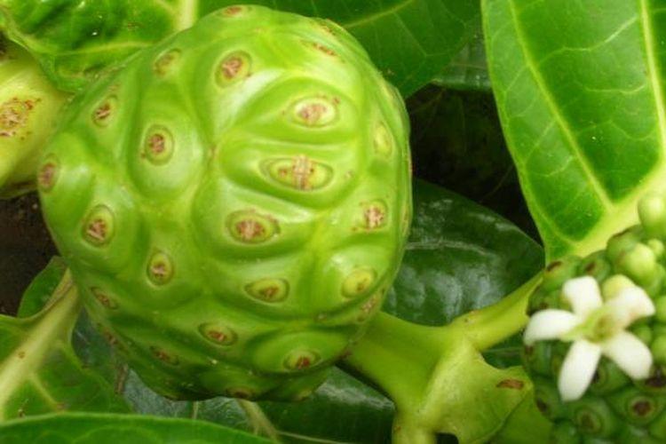 Tanaman dan buah mengkudu