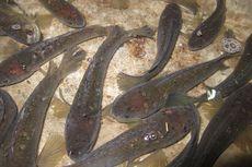 Mitos atau Fakta: Ikan Gabus Memperlambat Penyembuhan Setelah Operasi Caesar