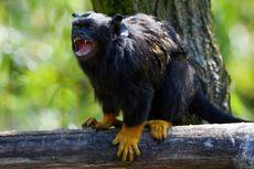Monyet Ini Pakai Aksen Khusus untuk Berkomunikasi dengan Musuhnya